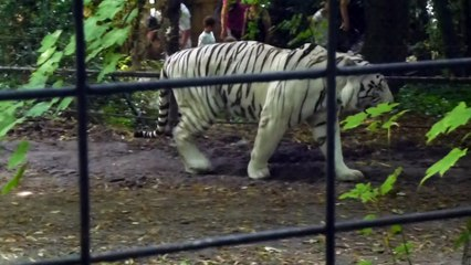Zoo de Beauval - Tigre blanc