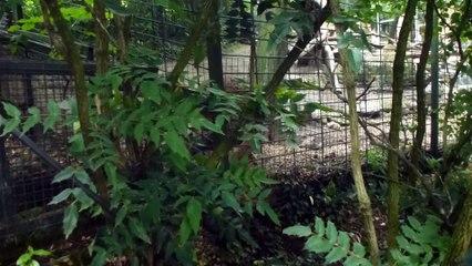 Zoo de Beauval - Un léopard grogne