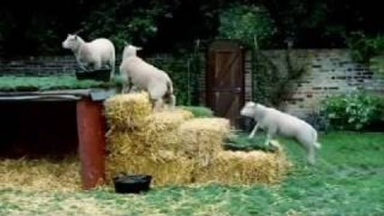chef ramsay has to relocate his sheep gordon ramsay
