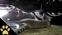 Raccoon Mechanic
