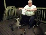 Un homme nourrit des gros ratons laveurs comme si c'etait des chiens
