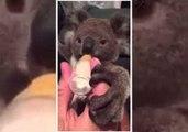 Adorable Rescued Koala Joey Drinks From Bottle