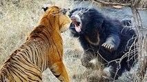 Siberian Tiger Vs Bear Real Fight - Amazing Videos