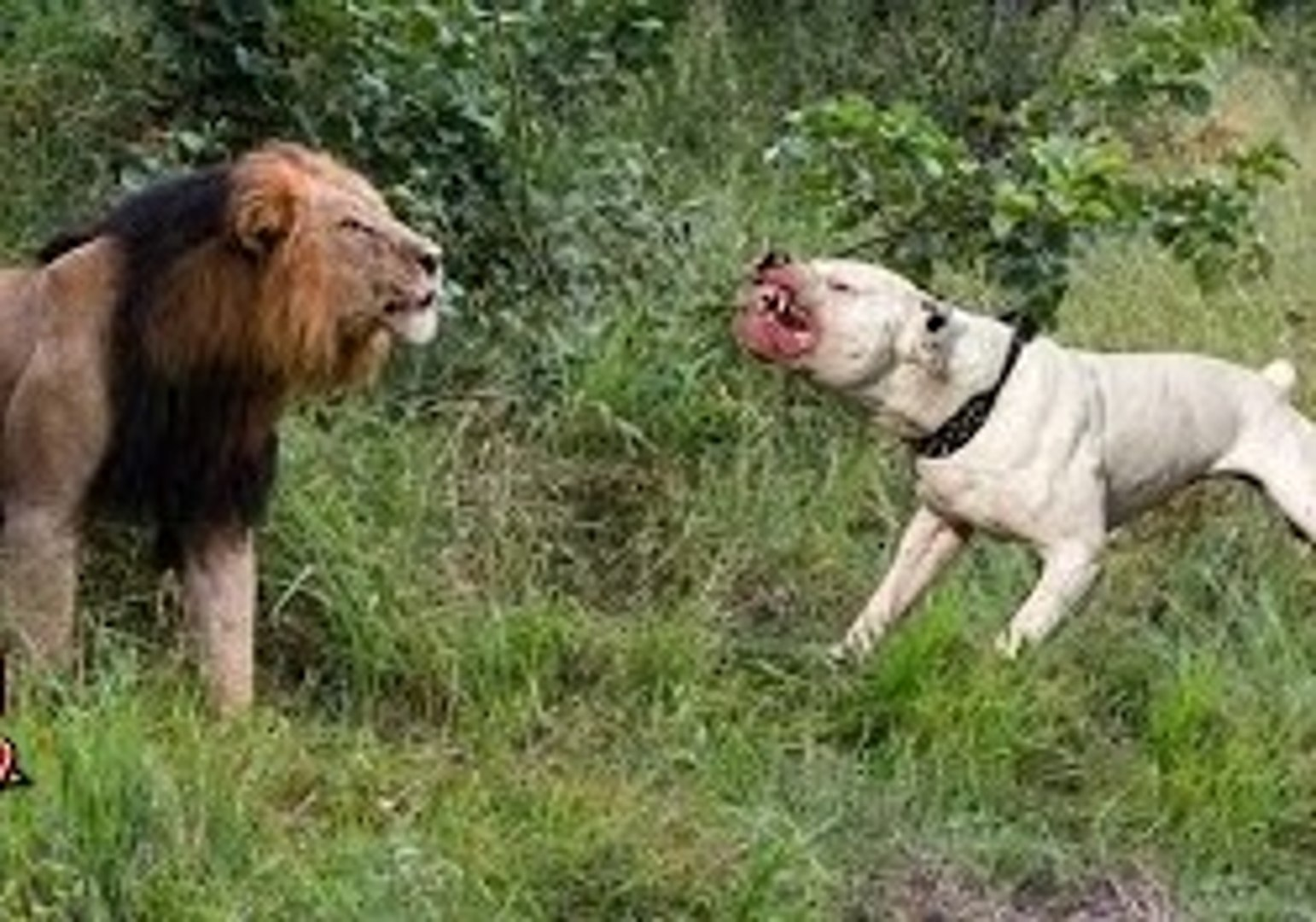 Wild animals hunting dog Pit bull vs tiger Leopard attack guard dogs  Mountain lion vs dog