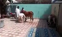 cow shot FUNNY CLIPS best FUNNY CLIPS 2016 FUNNY CLIPS so funny FUNNY CLIPS latest FUNNY CLIPS very funny FUNNY CLIPS bo