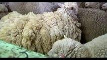 Australie : Sheila la brebis errait en Tasmanie avec plus de 21kg de laine sur le dos