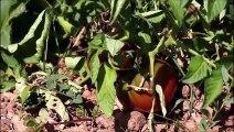 Pascal Poot Conservatoire de la Tomate
