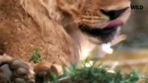 Lion Documentary National Geographic THE EXPERT KILLERS Lion VS Buffalo