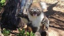 Un koala, ce fait expulsé de son arbre et se met a pleurer