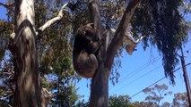 Un pauvre koala en pleurs après s'être fait chasser de son arbre