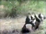 Des singes fous font du rodéo...