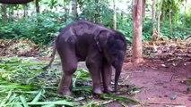 Ce bébé éléphant découvre sa trompe... Et ça à l'air amusant