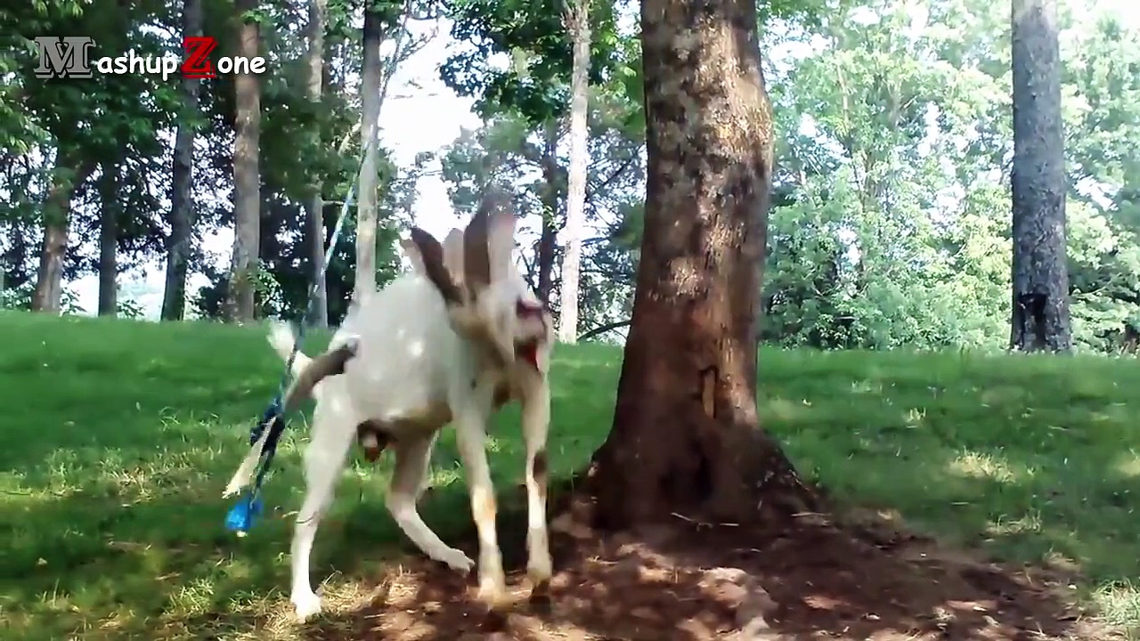 Funny Goats – A Funny Goat Videos Compilation || NEW HD 2016 [new]