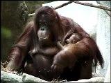 Orangutan Baby at Brookfield Zoo Forests Are Important - Polar Bears International Hudson Polar Bear 2
