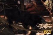 Melon  BinturongHowling Wolves Forests Are Important - Polar Bears International Hudson Polar Bear 2 at Brookfield Zoo