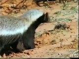 The Crazy Nastyass Honey Badger original narration by Randall