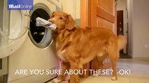 Ce retriever fait la lessive pour sa maîtresse. Épatant !