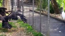 Eagle attacks animals (dog, birds, drone, goose, kangaroo) - Animal Attack Video Compilation part 2