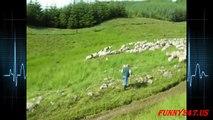 Dogs Herding Sheeps Compilation 2015