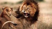 Lion Life Documentary: Predators at War Documentary (Animal Documentary Full Length)