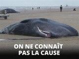5 cachalots sont morts sur cette plage des Pays-Bas