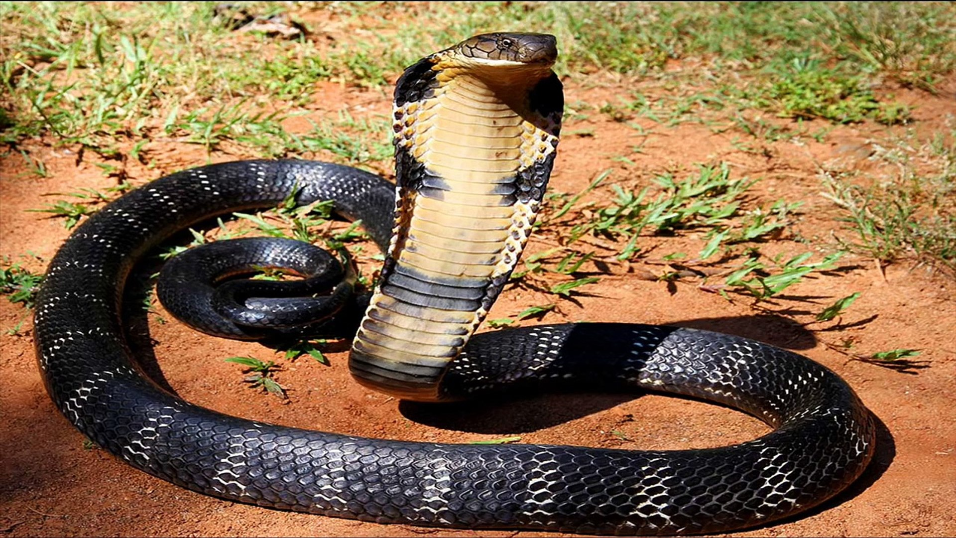King Cobra Attack Alive : Most Dangerous Snake in the World - YouTube