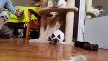 Portrait du chat de race Sacré de Birmanie #conseil véto
