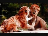 watch Lion Vs Tiger #10   tiger vs lion   lion vs tiger fight   tiger vs lion fight   animal fight