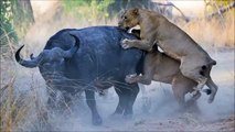 watch Lion vs buffalo #23   buffalo vs lion   Lion Vs BUffalo Fight   bufallo vs lion Figh