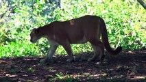 watch Lion VS Tiger #13   tiger vs  lion vs tiger fight   tiger vs lion fight   animal fight