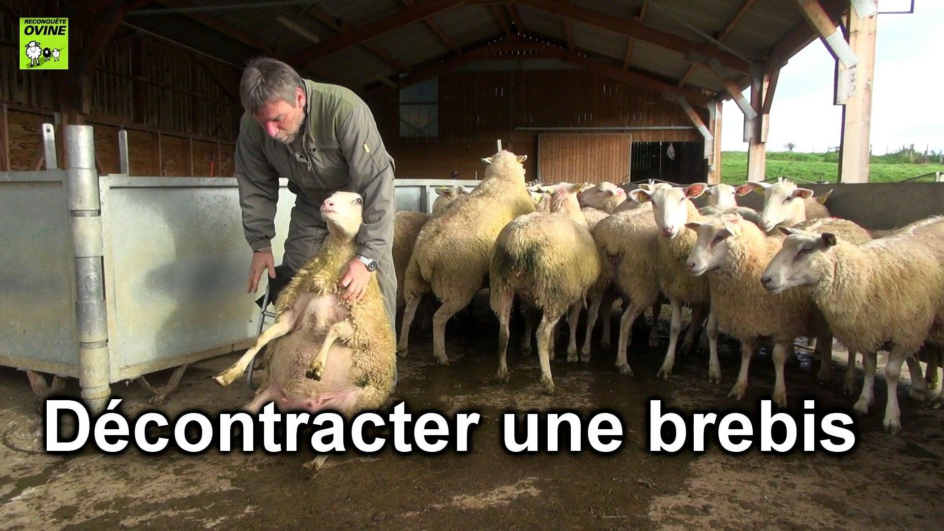 attraper_et_contenir ses brebis et agneaux _ciirpo
