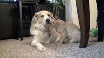 Un chat fait des câlins à un chien