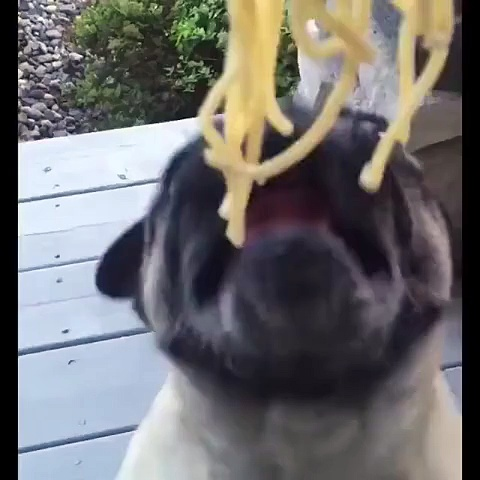 Pug really loves ramen