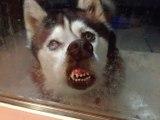 Wolf Pups First Wellness FREEze Day Snow Leopard Cubs Play in Snow Wolf Pups First Wellness Exam  Exam