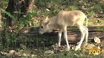 New Addax Calves at Snow Leopard Cubs Play in Snow Wolf Pups First Wellness Exam  Brookfield Zoo