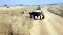 watch Lion vs buffalo #7   buffalo vs lion   Lion Vs Buffalo Fight   bufallo vs lion Fight