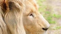 Lion Life Documentary: African Lion Documentary (Animal Documentary Full Length)
