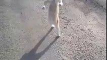 Funny Animals-Super Cat-Cat walk on two legs