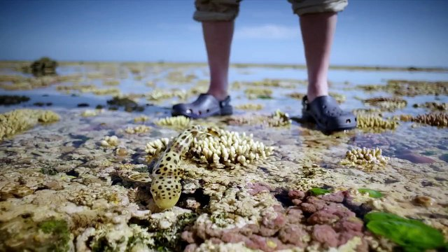 The walking shark - Great Barrier Reef with David Attenborough: Episode 3 Preview - BBC One