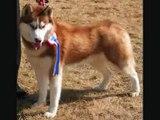 4 Week Old Siberian Husky Puppies   Cuteness Overload