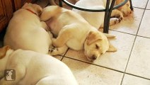 Lab Puppies Dream of Heaven And Sunshine - Puppy Love