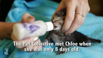 Helpless 8 Day Old Kitten Finds Forever Home, You Wont Believe What She Looks Like Now!