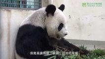 Un bébé panda découvre sa nouvelle maison sous les yeux de sa maman