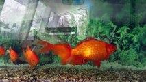 ...balade de poissons rouges...