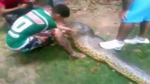 Un énorme anaconda tue un pitbull
