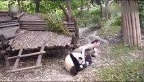 Ne voulant pas laisser passer l'opératrice, ce que fait ce petit panda est amusant