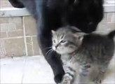 Maman chat vient de sauver son petit chaton