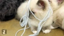 Tiny Kittens VS. Yarn, The YARN WINS - Kitten Love