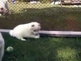 Outdoor day in the life of a 5 weeks old Samoyed puppy __ Samoyed puppy hugs _by  MIX Maza