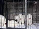 Samoyed puppy hugs #2 __ 47 days old Samoyed puppy _by  MIX Maza